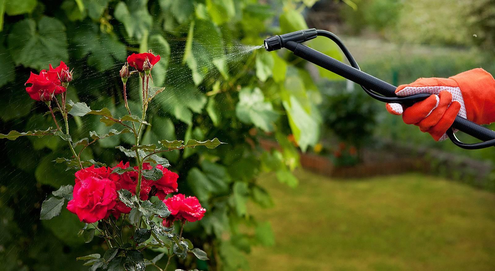 Выращиваем розы на подоконнике – как сохранить и продлить цветение
