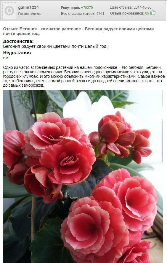 Бегония элатиор (49 фото): уход в домашних условиях. как пересаживать цветок после покупки? размножение листом и семенами, отзывы
