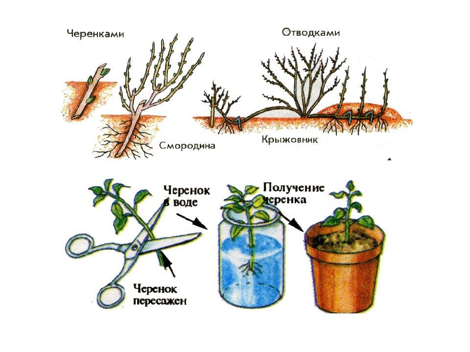 Как посадить седум в открытом грунте и правильно за ним ухаживать?
