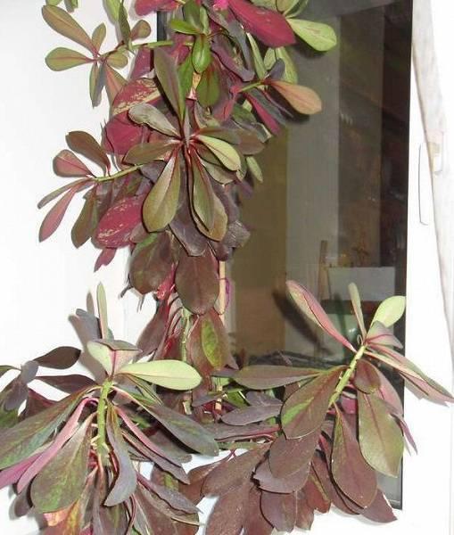 Цветок эпипремнум: как его размножить, сорта золотистый, марбл квин и другие