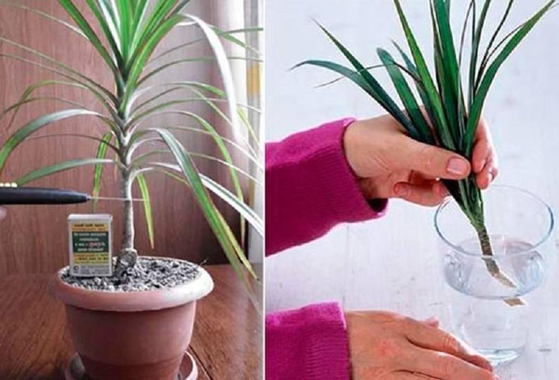 Филодендрон уход в домашних условиях и размножение