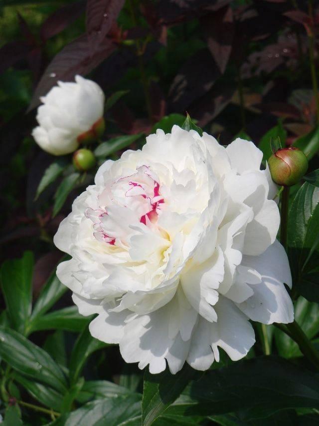 Фестива максима пион (paeonia festiva maxima)