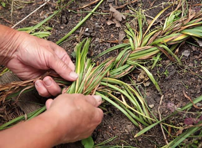 Что делать с луковицами цветов после выгонки