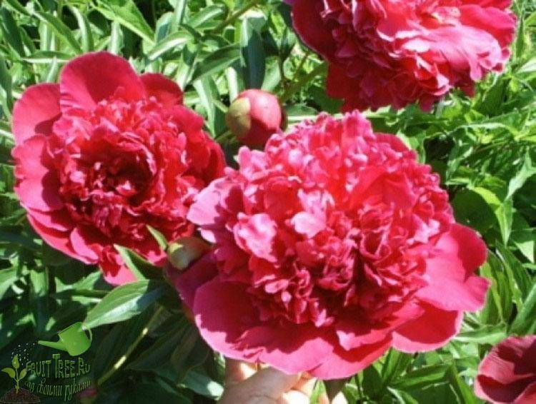 Описание пиона распберри сандей (санди) — особенности выращивания и ухода в саду