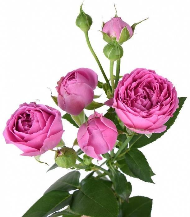 Особенности плетистой розы сорта лавиния: характеристики, как выращивать культуру