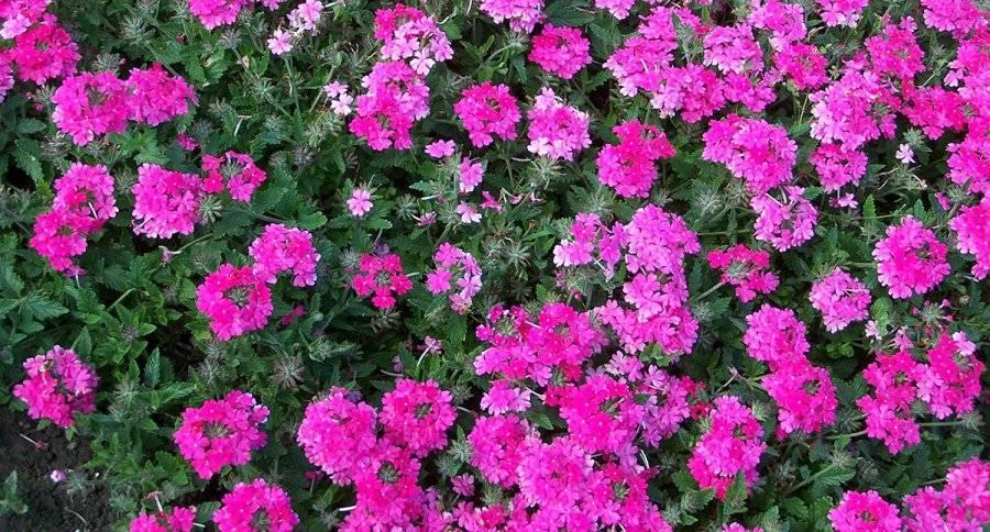 Лучшая вербена буэнос айресская, бонарская и другие популярные сорта и виды цветка