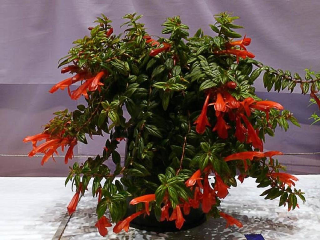 Колумнея (53 фото): описание и уход за цветком в домашних условиях. «карнавал» и другие сорта растения. способы размножения колумнеи