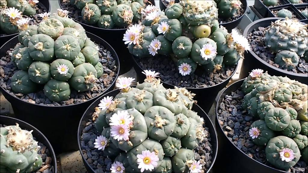 Как ухаживать за каменной розой в домашних условиях: цветение, как сажать