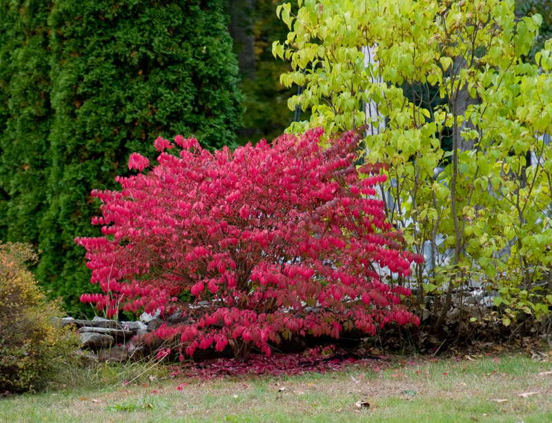 Бересклет крылатый (50 фото): описание, «компактус» и «чикаго файер», использование кустарника в ландшафтном дизайне, посадка и уход в саду