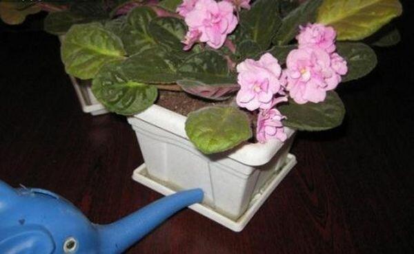 Как полить фиалку? как часто и правильно поливать фиалки? как сделать фитильный полив зимой в домашних условиях для комнатных фиалок?