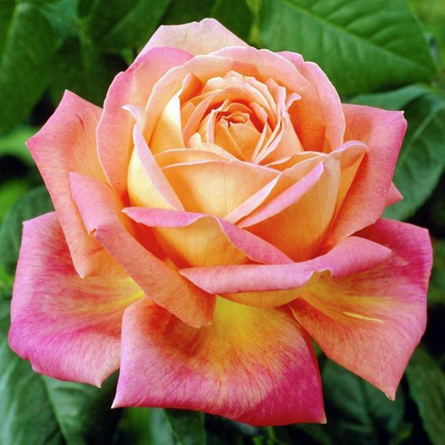 Особенности сорта розы гранд аморе и её разновидности супер, описание гибрида