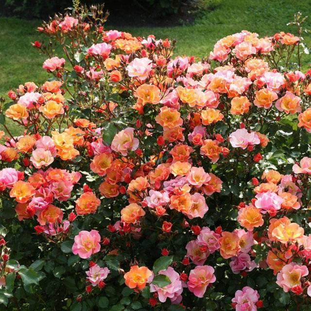 Сорта роз с фото и названиями: характеристика