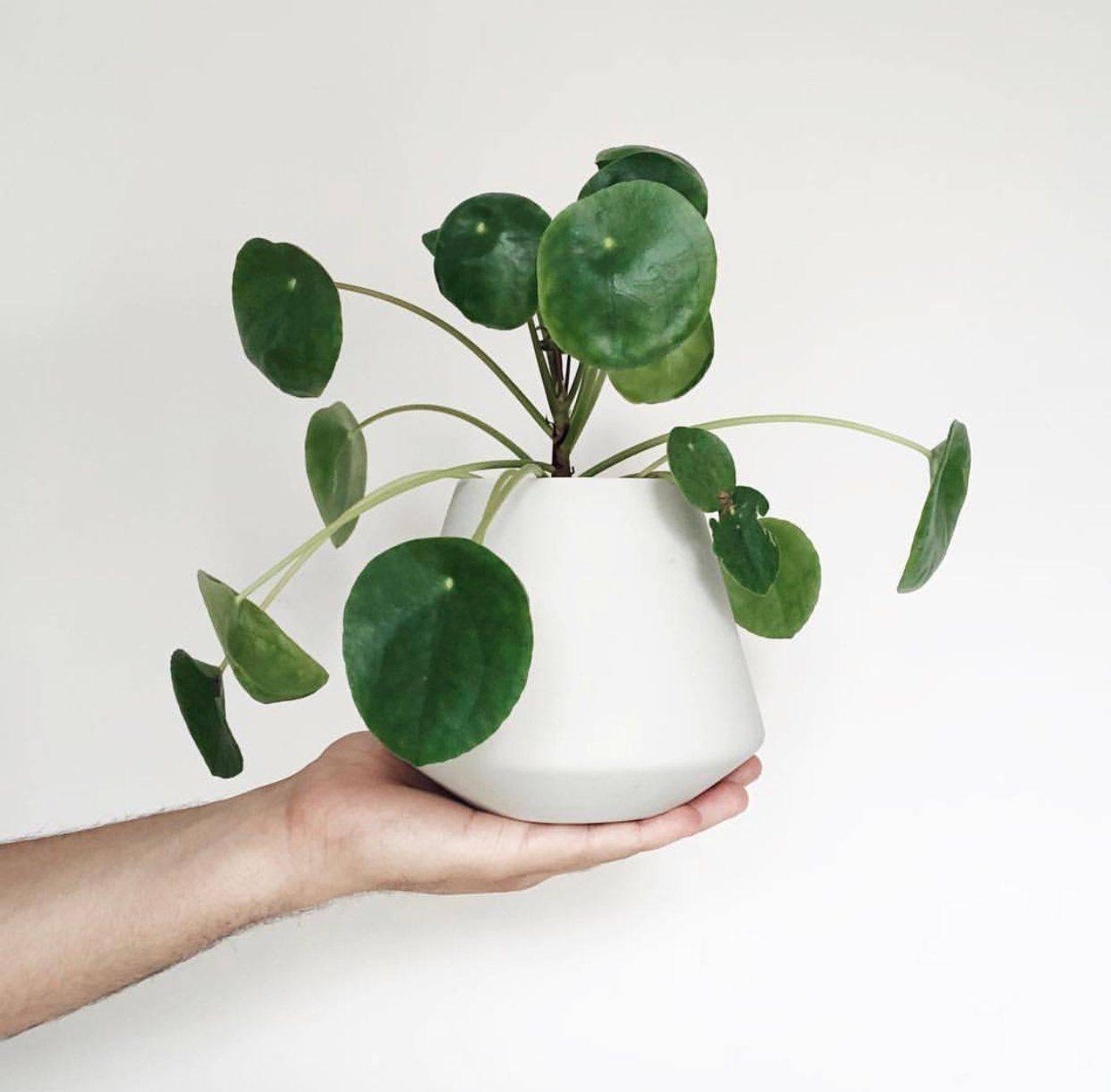 Пилея (48 фото): уход за цветком в домашних условиях, виды комнатного растения мелколистная и монетолистная, пеперомиевидная и депресса, обернутая и сорт «норфолк»