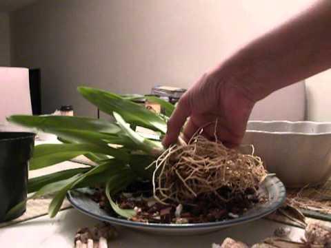 Мильтония – виды орхидеи с названием и фото, особенности ухода, размножения и пересадки цветка в домашних условиях