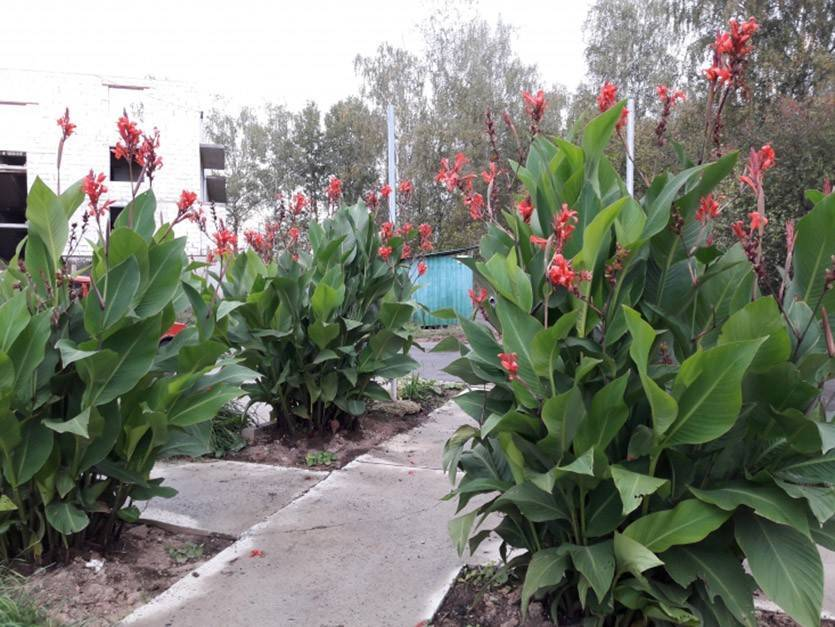 Канна в саду и выращивание цветов садовые канны в саду
