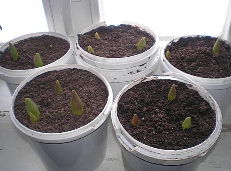 Мирабилис, посадка и уход, особенности выращивания в открытом грунте