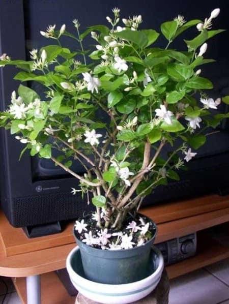 Кустик с пышной кроной и крупными белыми бутонами комнатный жасмин: уход в домашних условиях, нюансы выращивания, фото роскошных экземпляров