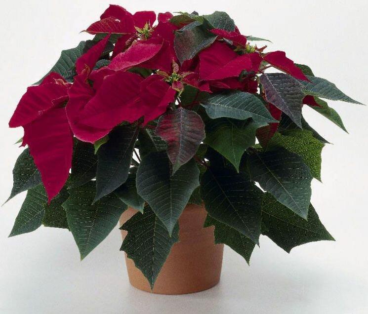 Комнатные растения с красными цветами (60 фото): домашние цветы с красно-белыми цветами, антуриум и колокольчики, каллы и герань