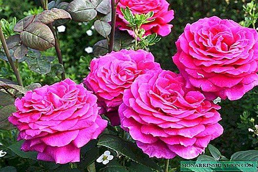 Особенности выращивания розы эмильен гийо красивого морозостойкого сорта, уход