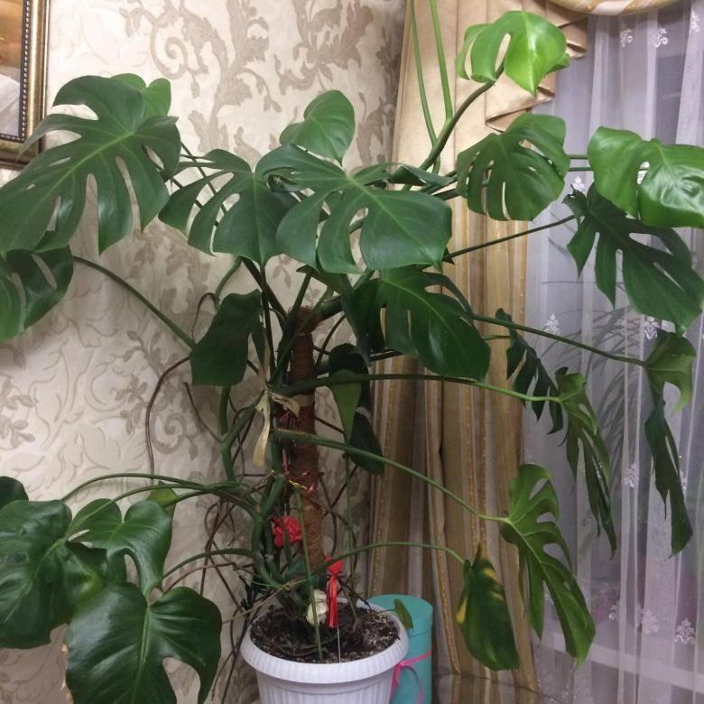 Как выращивать монстеру в домашних условиях