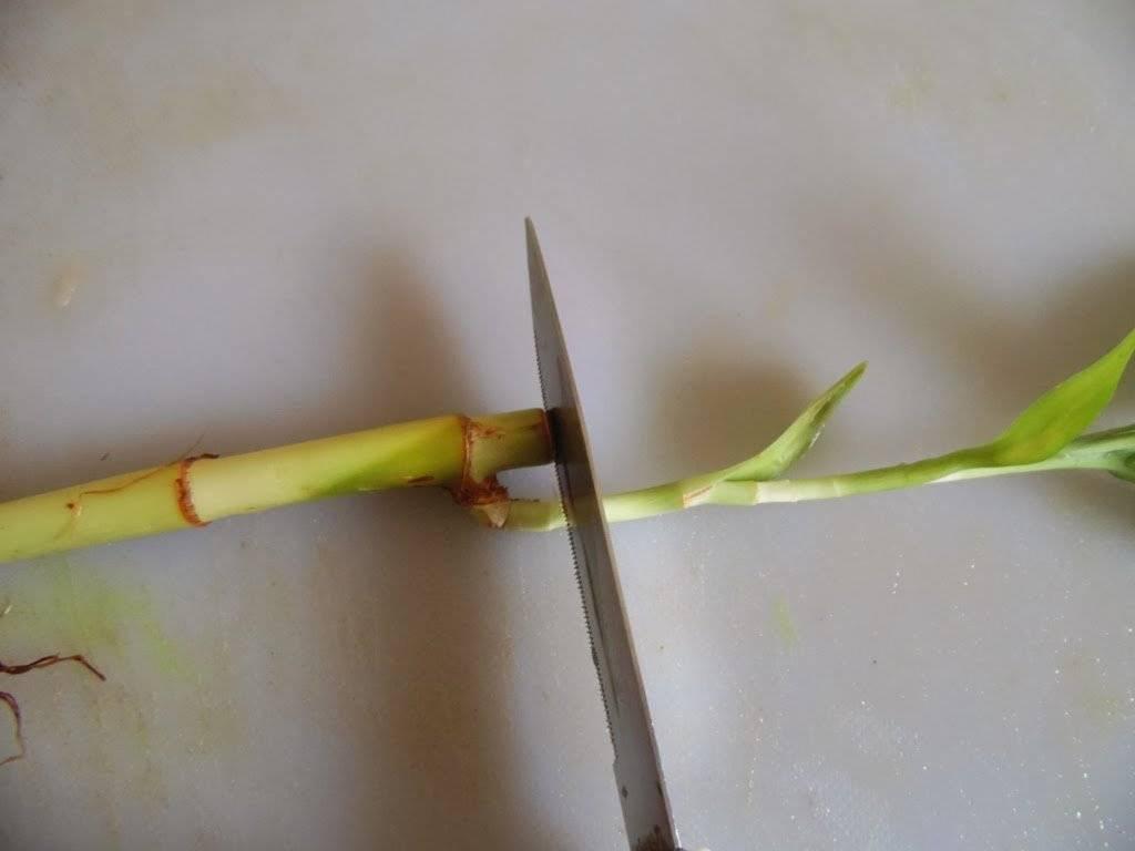 Комнатный бамбук: описание и выращивание в домашних условиях