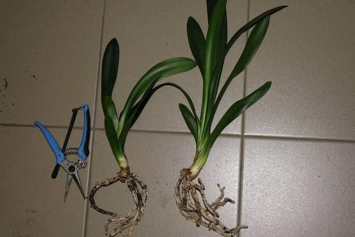 Почему кливия не цветет? особенности выращивания кливии в домашних условиях