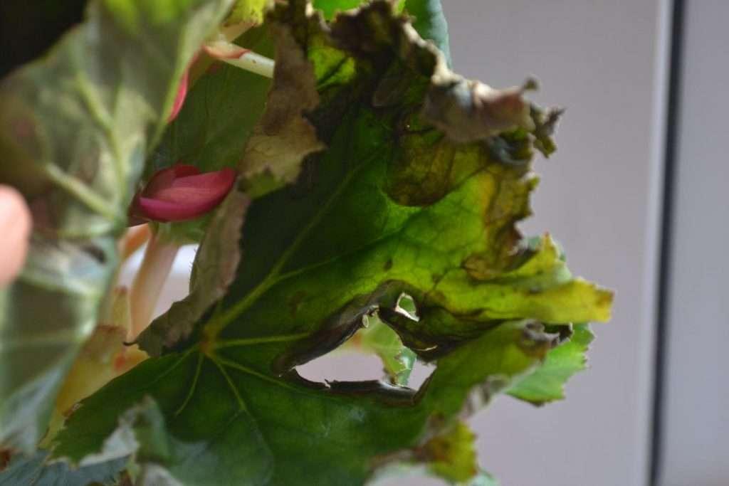 Почему вянет бегония в горшке и в открытом грунте: особенности роста, причины засыхания листьев — недостаточный уход и болезни, и как спасти растение?