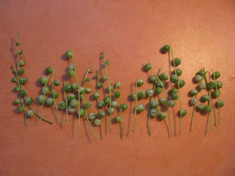 Цветок крестовник роули и особенности его выращивания