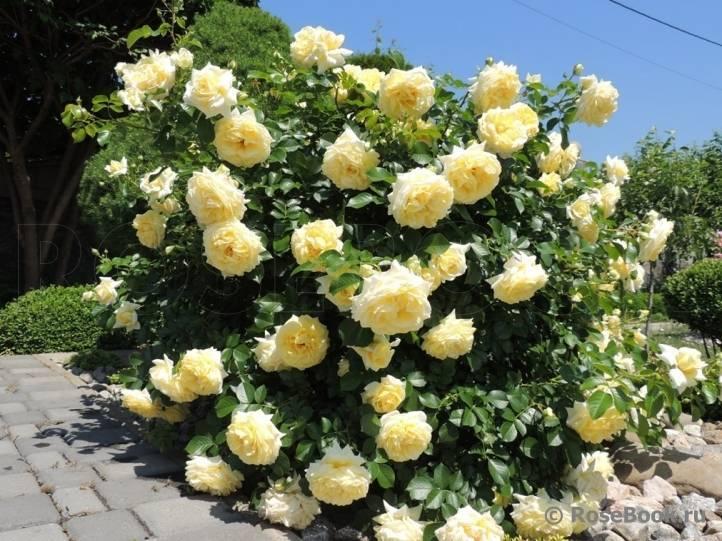 Сорта почвопокровных роз