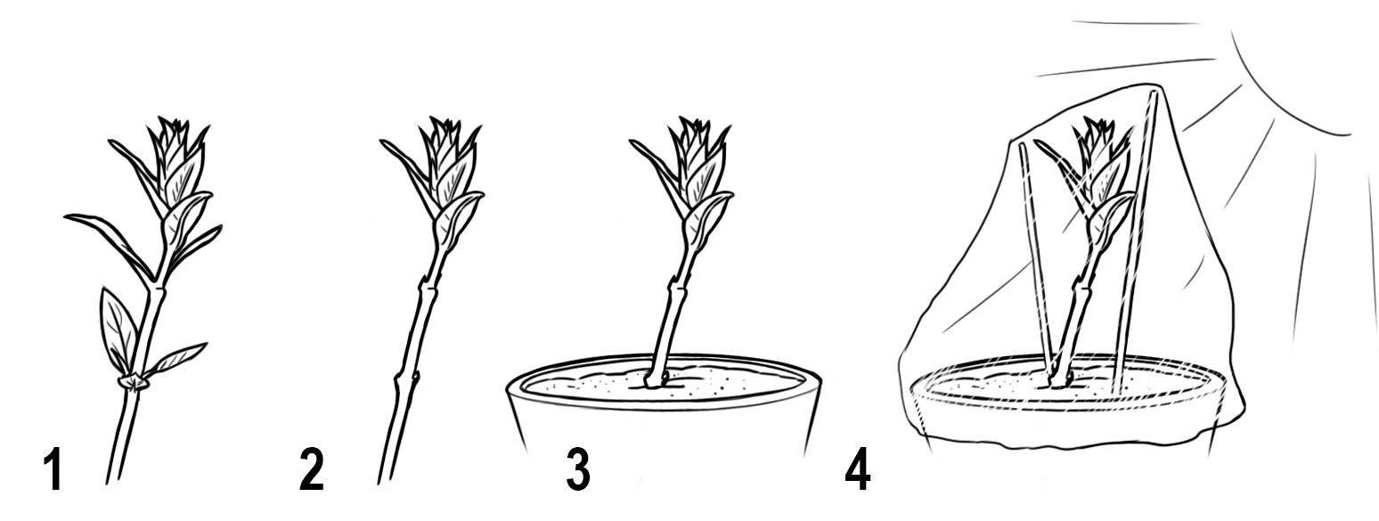Размножение азалии черенками в домашних условиях