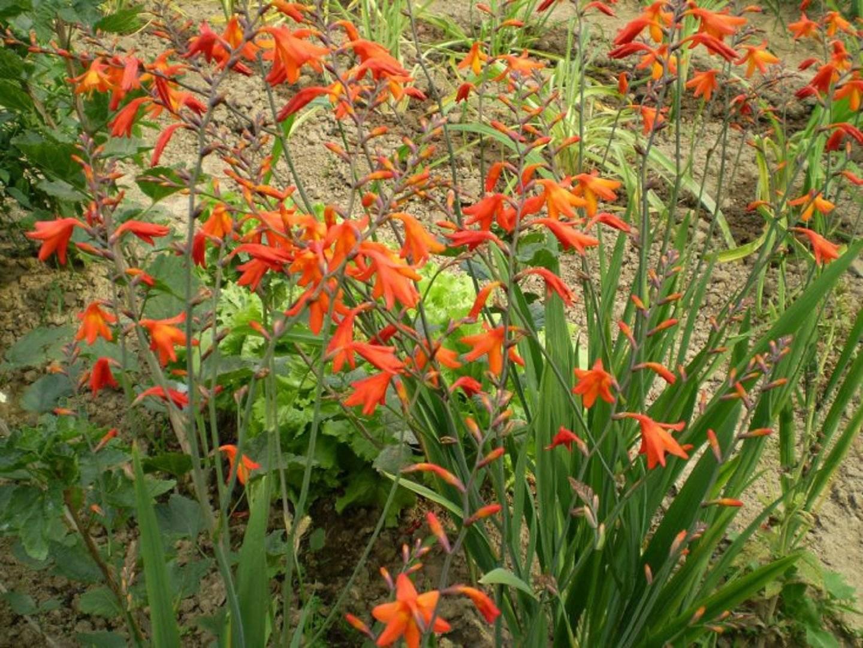 Все о посадке и уходе за крокосмией (сrocosmia) многолетней в открытом грунте