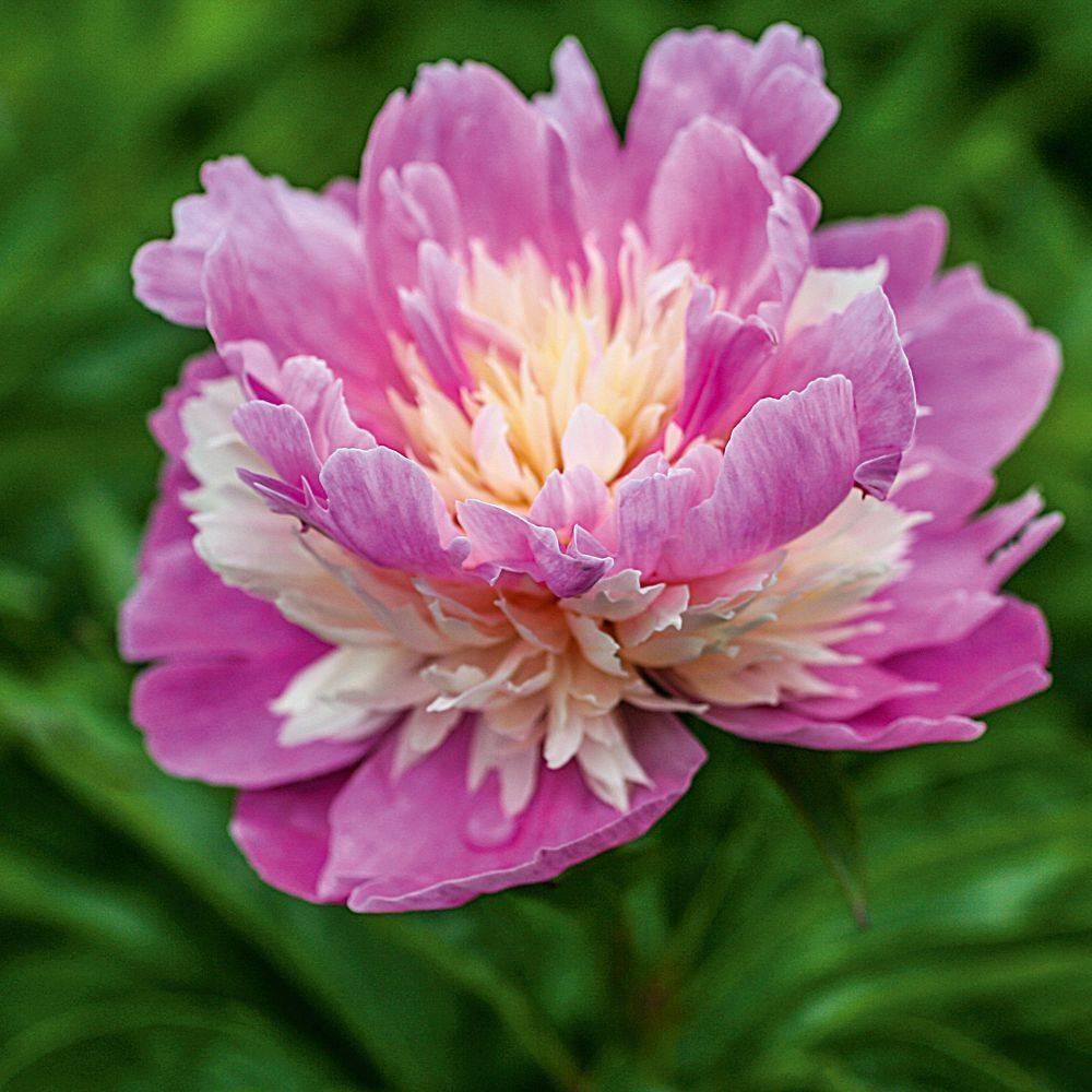 Пион бартзелла (paeonia itoh bartzella) — описание сорта