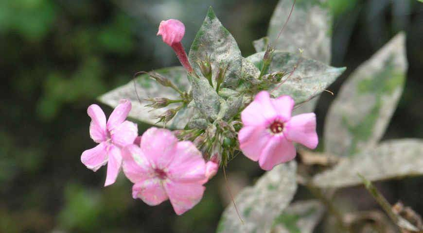 Как избавиться от мучнистой росы на флоксах