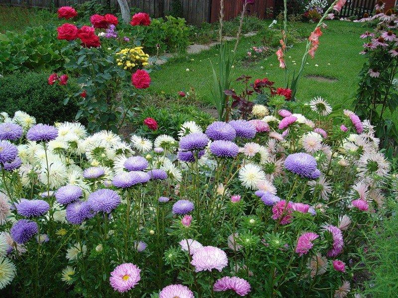 Ромашка садовая – выращивание в саду и уход за ней