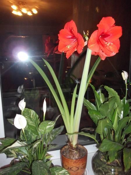 Почему не цветет амариллис дома — что делать