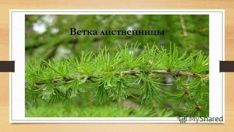 Как выглядит лиственница, форма кроны и корневая система