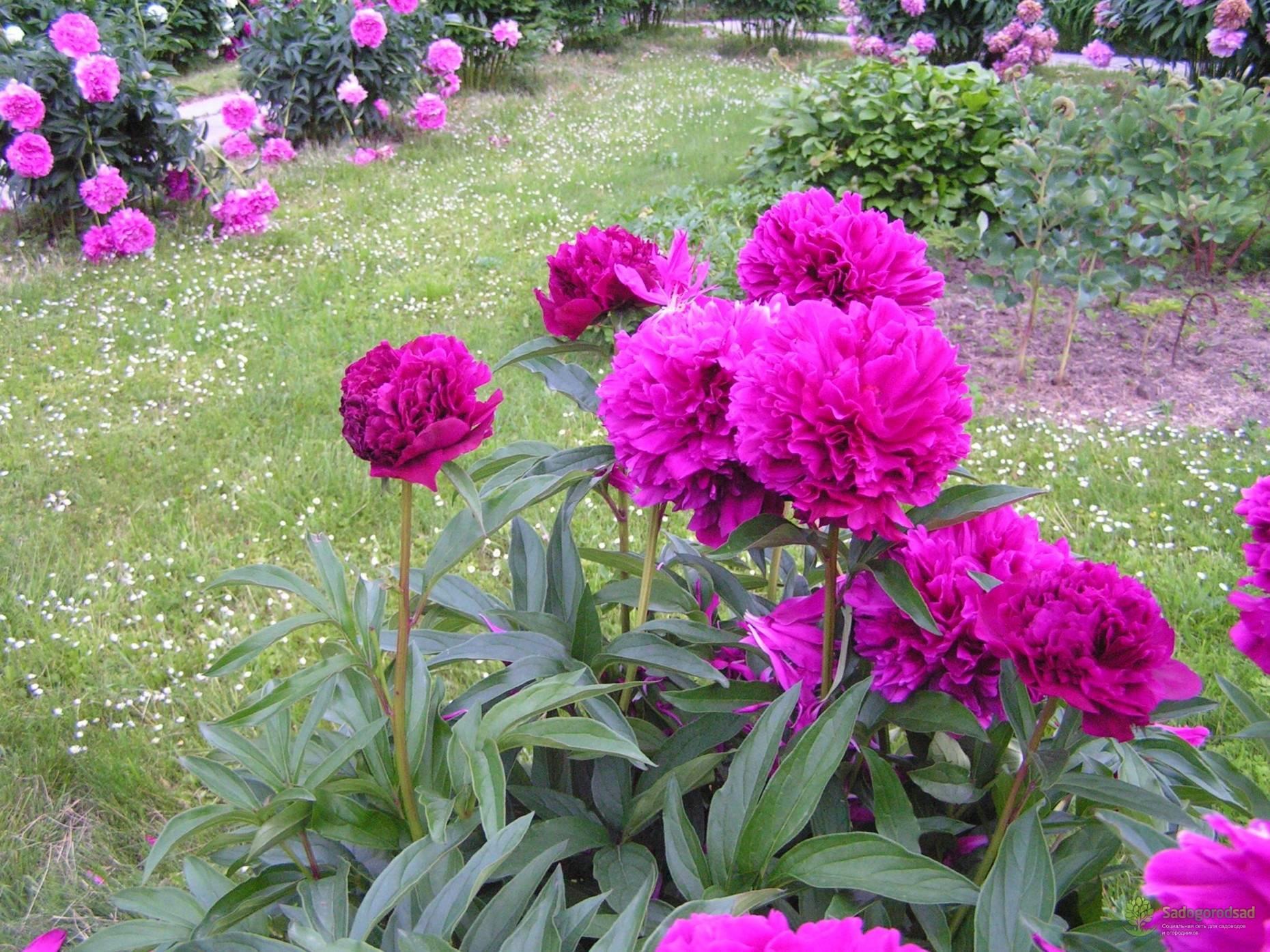 Пионовидные розы: сорта и тонкости выращивания