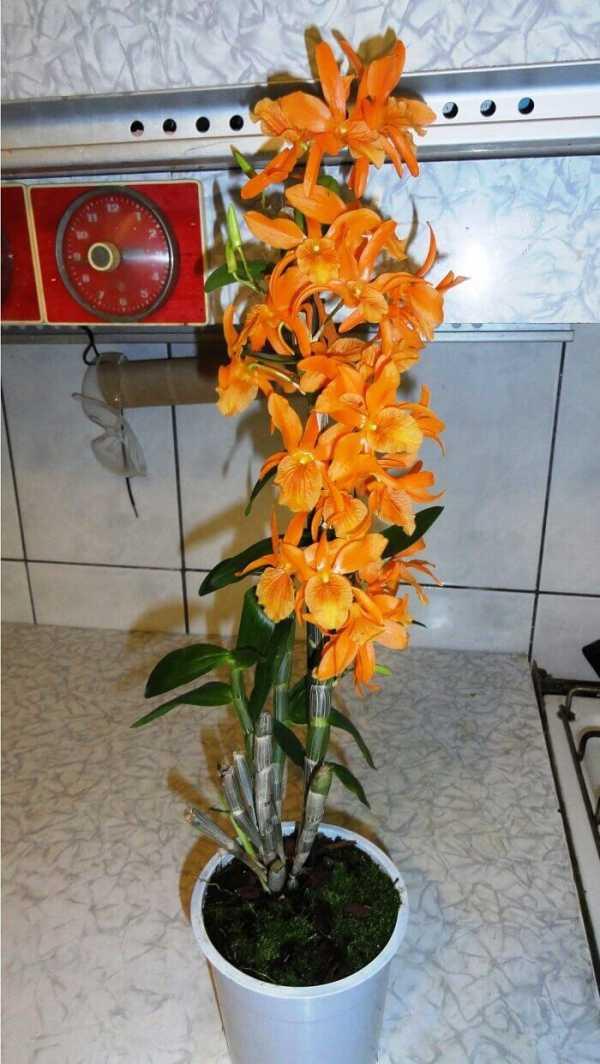 Роскошный вид комнатных растений орхидея дендробиум: уход в домашних условиях, оптимальные условиях содержания