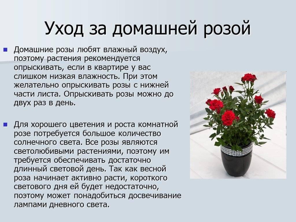 Чайно-гибридные розы: описание, посадка и уход