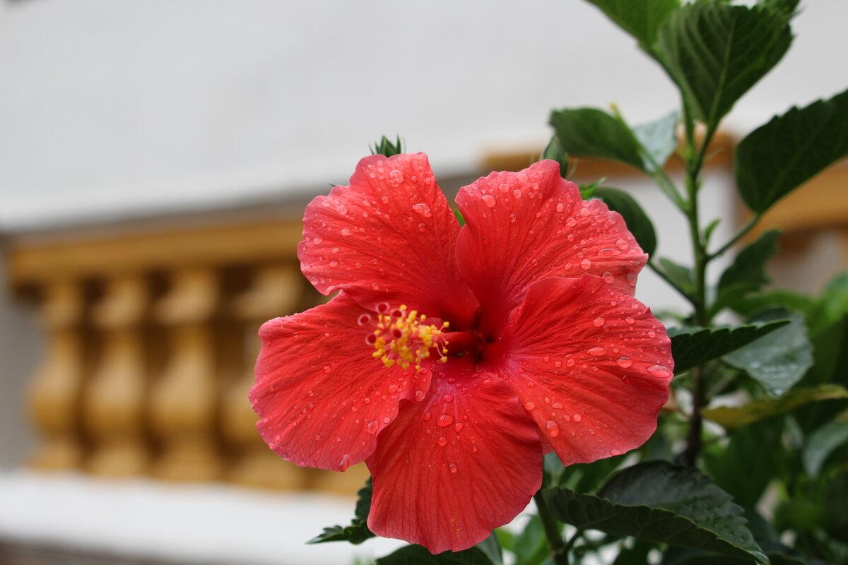 Почему гибискус называют цветком смерти, уход за китайской розой