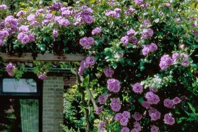 Роза симпатия (sympathie) — описание сорта