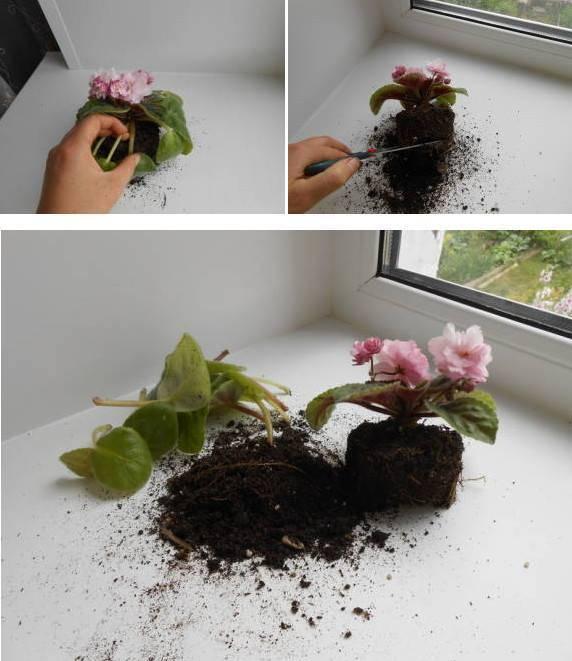Инструкция, как выращивать фиалку из листочка