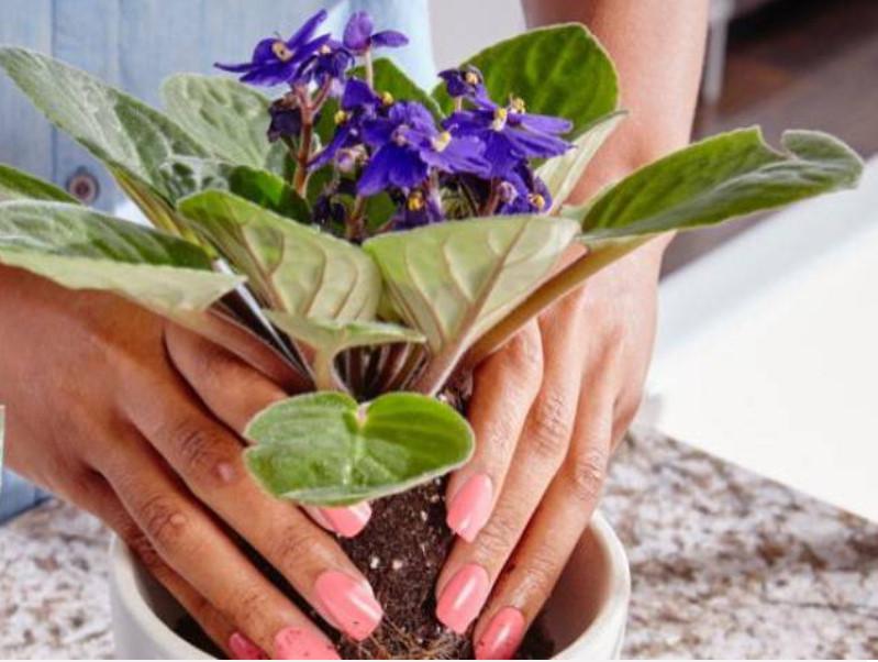 Когда пересаживать примулу — весной, летом или осенью