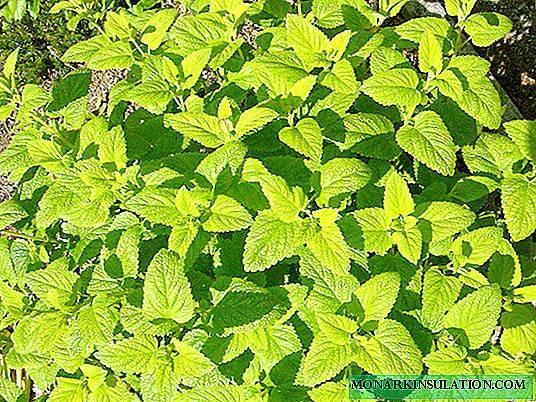 Мелисса: посадка и уход в открытом грунте на даче, а также дома, советы, как правильно вырастить лимонную мяту, обзор размножения черенками и другими способами, фото