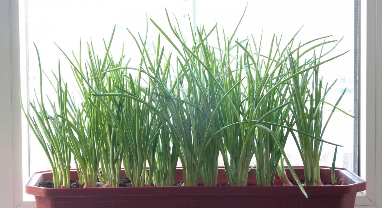 Индийский лук: лечебные свойства и применение в медицине