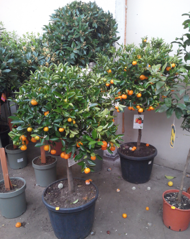 Выращивание и уход в домашних условиях за цитрофортунеллой