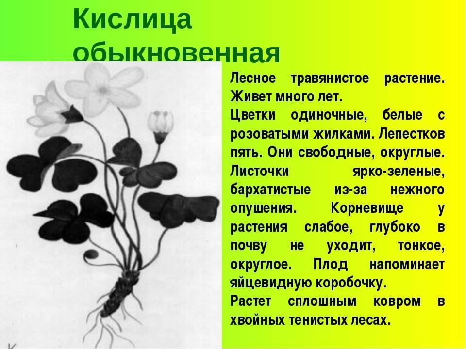 Кислица или оксалис - виды и сорта с фото и описанием