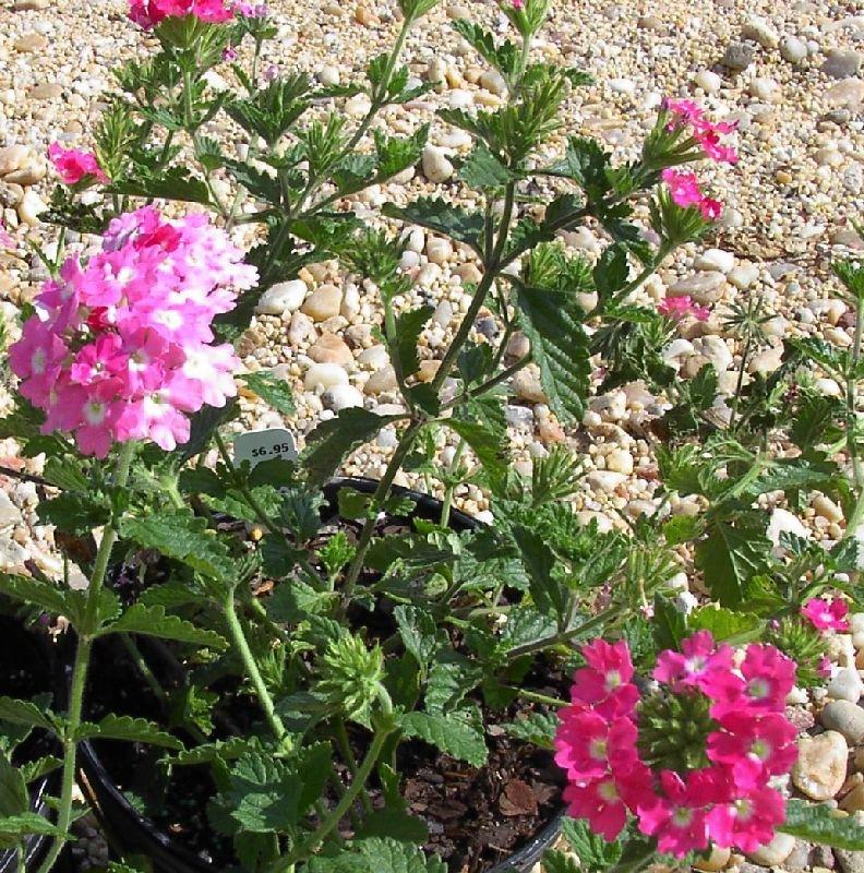 Посадка и уход за вербеной: фото выращивания многолетнего цветка в открытом грунте и домашних условиях, а также информация о болезнях
