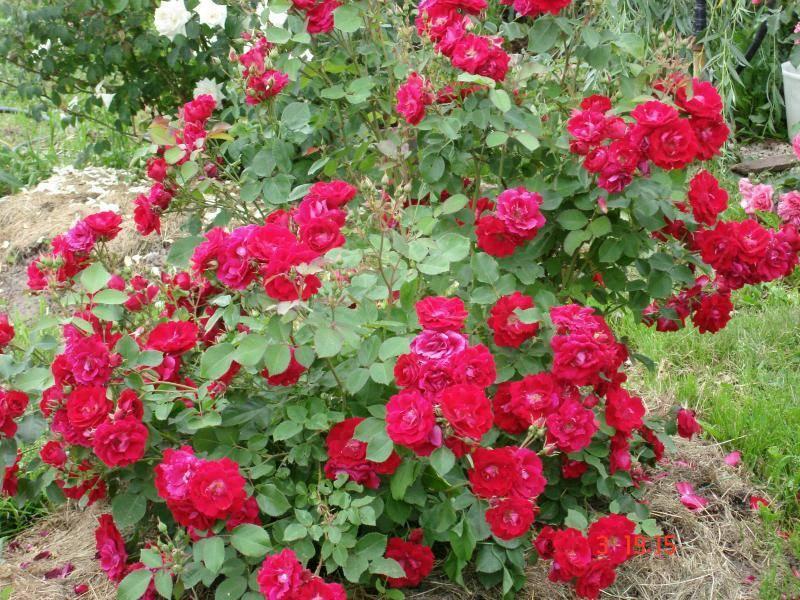 Выращивание хорошего сорта канадской парковой розы