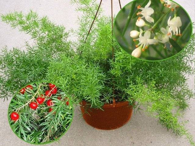 Выращивание аспарагуса перистого: как посадить, ухаживать, удобрять, размножать